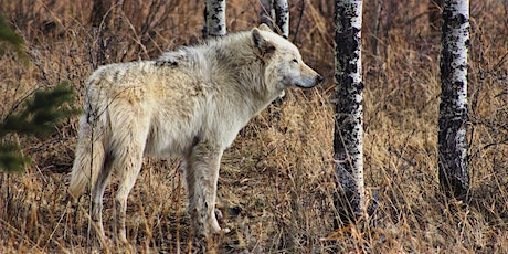 The Wolves of Yellowstone: A Chat with an Expert Naturalist! tickets