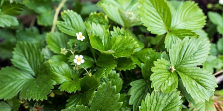 Foraging and Herbal Walk and Talk tickets