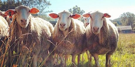 Sunset Pasture Walk & Mini Lesson-- Grazing Sheep tickets