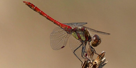 Dragonflies in Devon - Conservation Communities tickets