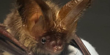 Introduction to bats in Limerick tickets