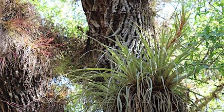 Wild Sarasota: Ethereal Epiphytes (webinar) tickets
