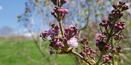 Lilacs at the Arboretum tickets