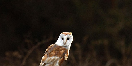 Suffolk Big 6 'Barn Owls' at Knettishall Heath -16th June (P6P 2511) tickets