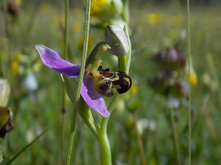 Wildflowers of Merlin with Ciaran Bruton image
