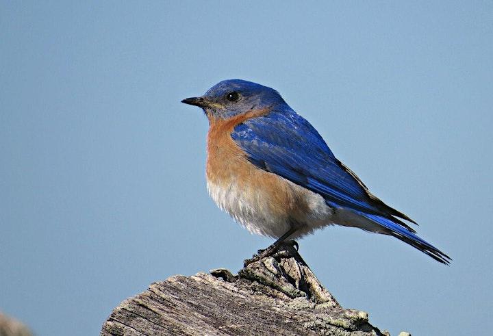 Bluebirds Forever Virtual Festival image