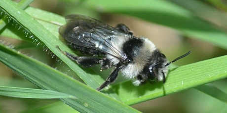 Bees and other invertebrates at the Prudhoe Spetchells tickets