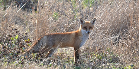 Impacts and management of foxes and rabbits in Victoria tickets