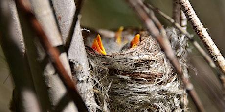Live from Palomarin: It's Nesting Season! Tickets