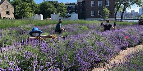 NYC Lavender Festival and Ju-Bee- Lee: Bouquet  Harvest NYCHA/SNAP Members tickets