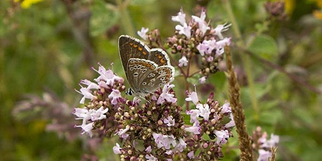 Guided evening butterfly walk at Hutchinson's Bank tickets