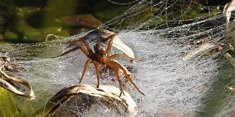Wild Families: Suffolk Big 6 - Fen Raft Spider (ECC2511) tickets
