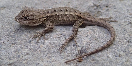 A Curious Look at Lizards Everywhere! And Other Fun Reptile Facts tickets
