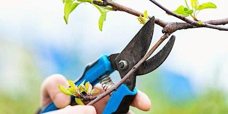 Summer fruit tree pruning - Shipley tickets