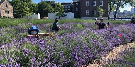 NYC Lavender Festival and Ju-Bee-Lee: Harvest a Bouquet NYCHA/SNAP Members tickets