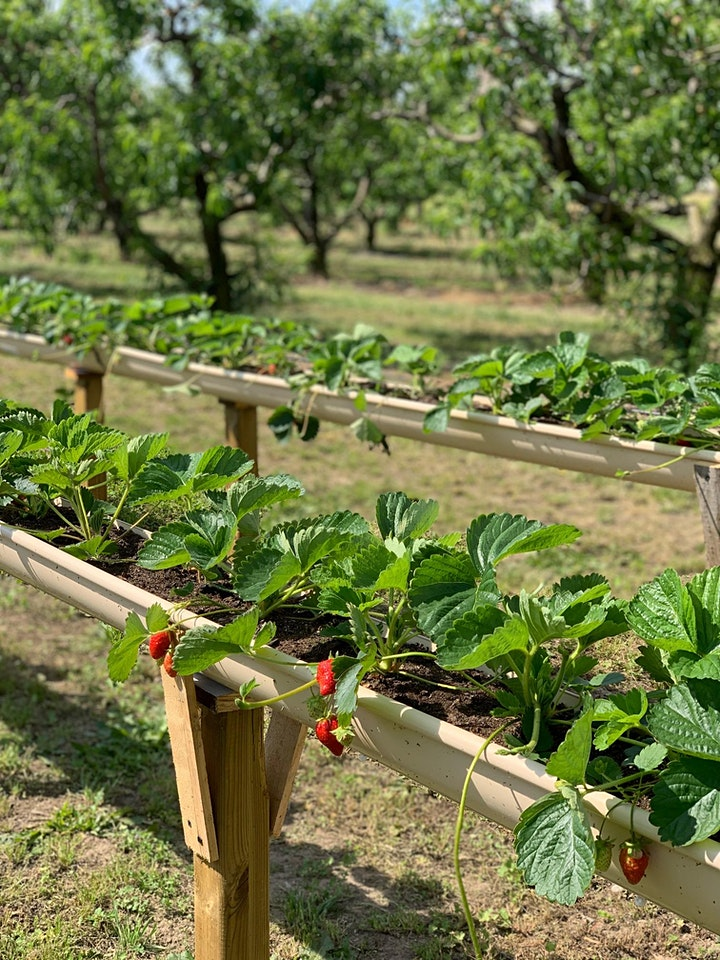 Immagine Strawberry Picking