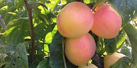 IN PERSON! Summer Fruit Tree Pruning tickets
