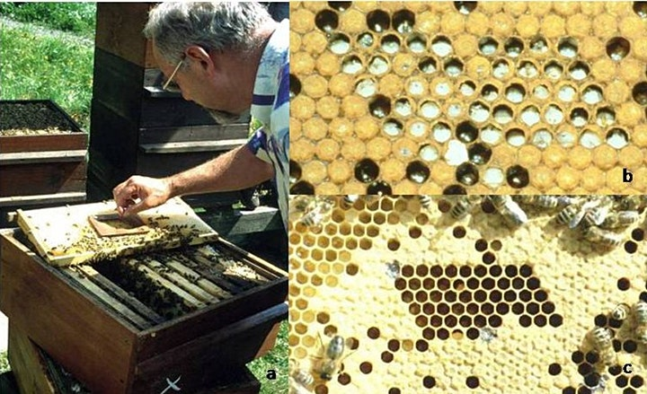 Breeding for Hygienic Bees - a talk by Jack Silberrad image
