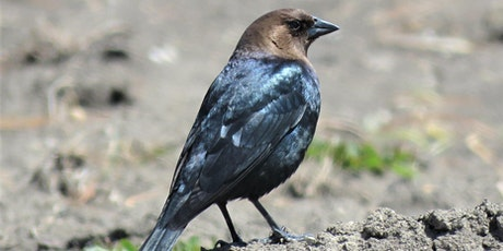 Cowbirds: Villainous mobsters or falsely maligned native species? tickets