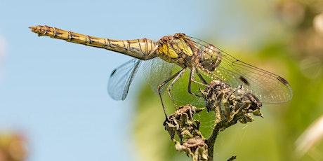 Dragonflies and Damselflies - A Guided Walk tickets