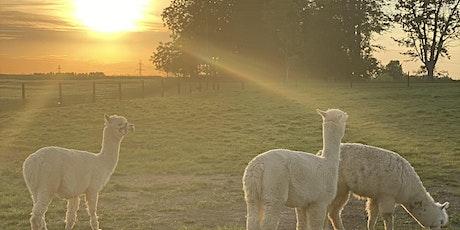 Summer Sunset Farm Events - Goat Snuggles, Alpaca Walks & More tickets
