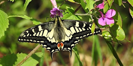 Swallowtail & Butterfly experience  at RSPB Strumpshaw Fen tickets
