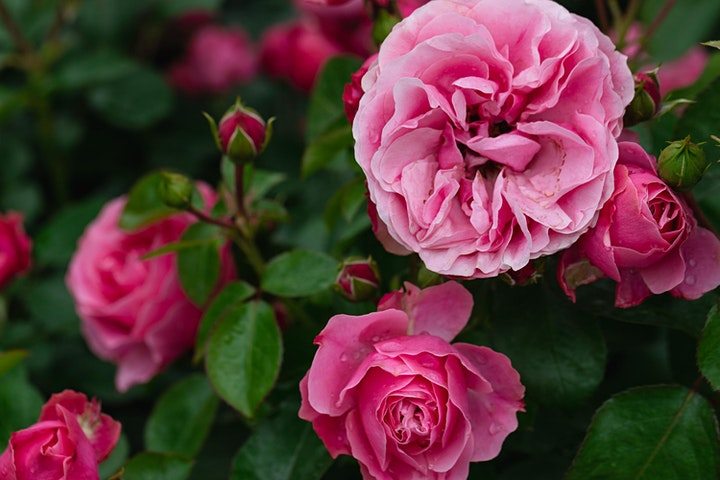 A Rosy Day Out image