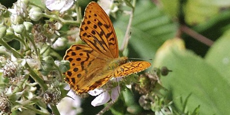 Guided butterfly walk at Bricket Wood Common tickets