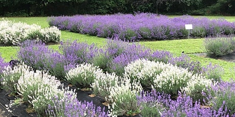 Serene Lavender Farm Open House  and U-Pick Tickets:  6/20 @ 11 a.m. -4 p.m tickets