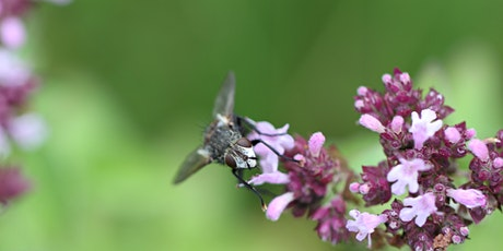 morning Bee inquisitive - Lëtz learn about insects in a wildflower meadow billets
