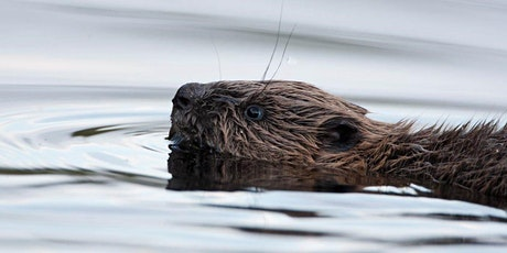 Summer 2021: Private access to the top hide - a chance to view the beavers tickets