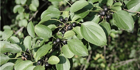 Buckthorn Removal tickets