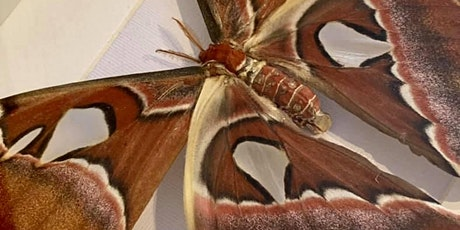 Atlas Moth Pinning tickets