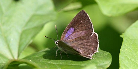Guided  walk for woodland butterfly species at Norton Green nr Stevenage tickets