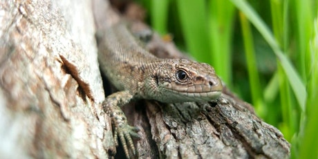 Reptile  Survey in the Heart of England Forest - BioBlitz 2021 tickets