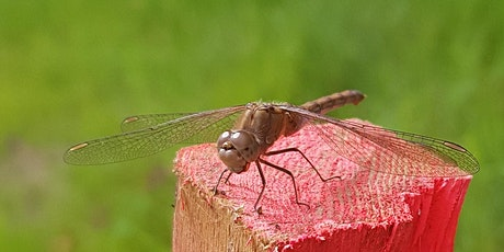 Dragonflies and Damselflies Survey - Heart of England Forest BioBlitz 2021 tickets