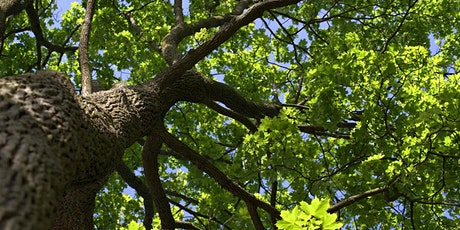 What's that tree?? Leigh Woods summer native tree ID with Avellana Ecology tickets