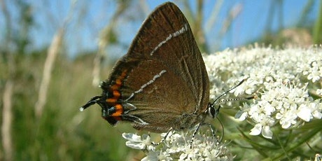 Guided butterfly walk at Horsenden Hill, Greenford (LB of Ealing) tickets
