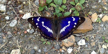 Guided walk looking for summer butterflies incl Purple Emperor at Heartwood tickets