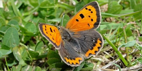 Guided walk at Nomansland Common for Small Copper/early autumn butterflies tickets