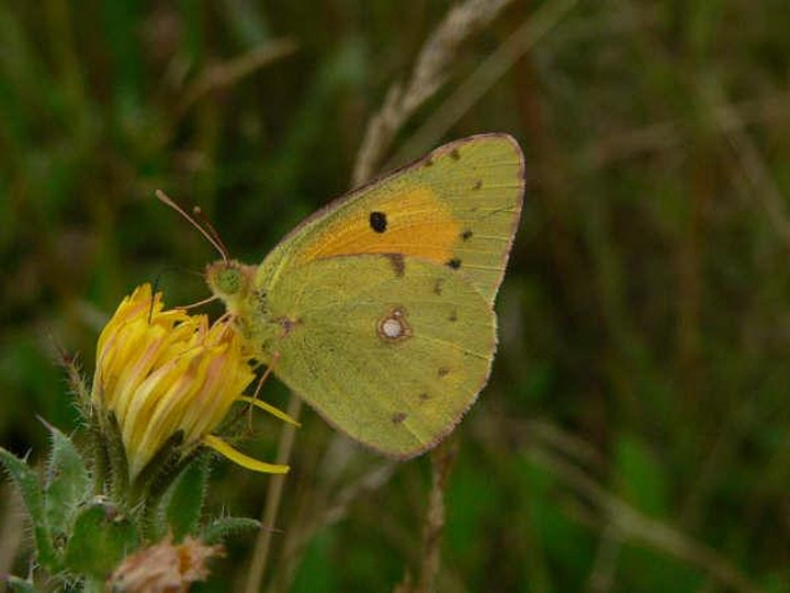 Guided walk at Nomansland Common for Small Copper/early autumn butterflies image