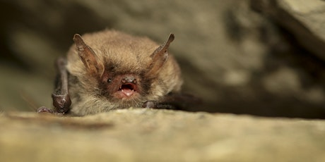Bonkers for Bats at Staveley Woodlands tickets
