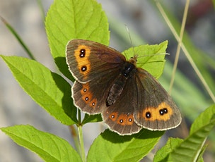 Butterfly spotting at Smardale Gill Tickets