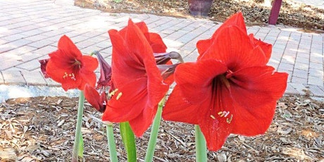 Ornamental Bulbs for Pinellas County: From Agapanthus to Zephyr Lily tickets