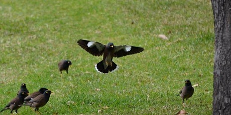 Wollongong Indian Myna Action Program Workshops tickets