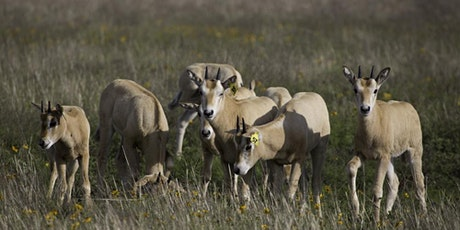 Scimitar-horned Oryx Calf Wrangling Experience: Fundraiser Pricing $2,000 tickets