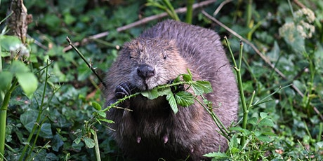 Rivers Week Online Talk - Why bother with beavers? tickets