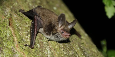 Walk: Bats and Deer in Captain's Wood DZC 2986 WB tickets