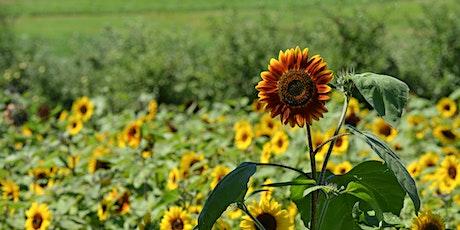 Sunset Sunflower Maze Wine Tasting @ Lyman Orchards tickets