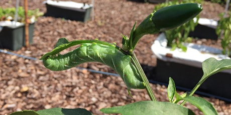 Major Insect Pests in the Home Vegetable Garden tickets
